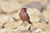 Sinai Rosefinch - Carpodacus synoicus<br /> male