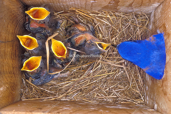 Eastern Bluebird Male (Sialia sialis) feeding nestlings in nest box (Indiana)