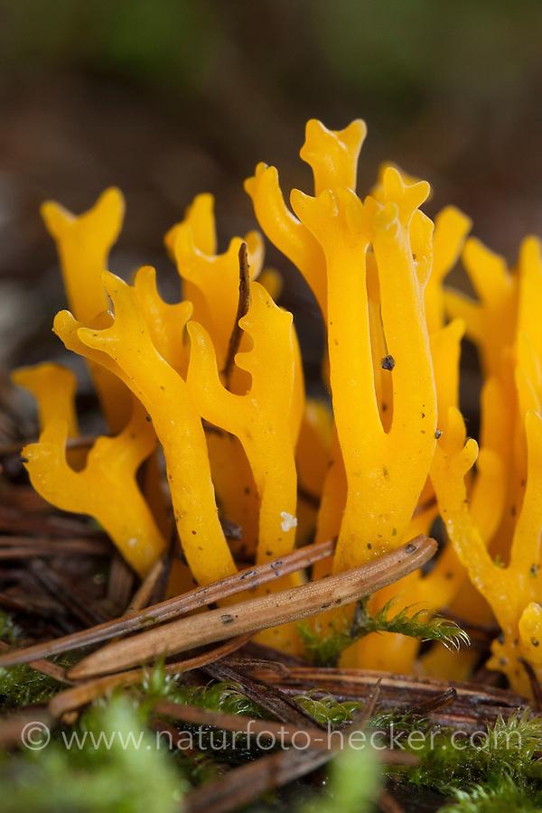 """Klebriger Hörnling, Klebriges Schönhorn, """"Zwergerlfeuer"""", Calocera viscosa, Yellow Stagshorn, Yellow staghorn"""