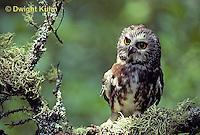 OW02-051z  Saw-whet owl - Aegolius acadicus