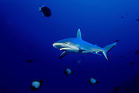 Gray reef sharks, Carcharhinus amblyrhynchos, are a common sight on Hawaii's deeper current swept reef areas.  Hawaii.