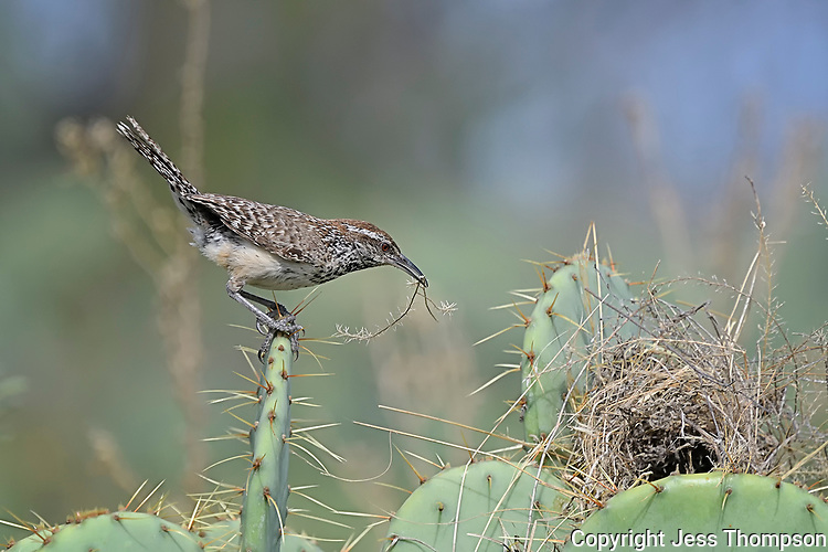 Cactus Wren with nest building material, San Angelo State Park