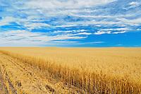 Field of oats<br /> near Piapot<br /> Saskatchewan<br /> Canada