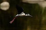 Black-necked Stilt in Flight Himantopus mexicanus Los Angeles River Southern California