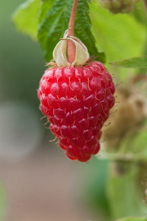 Raspberry 'Autumn Treasure', early September. A mid-season, autumn-fruiting variety bred at East Malling in Kent in the late 1990s.