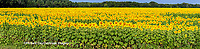 63801-06911 Sunflower field Sam Parr State Park Jasper County, IL