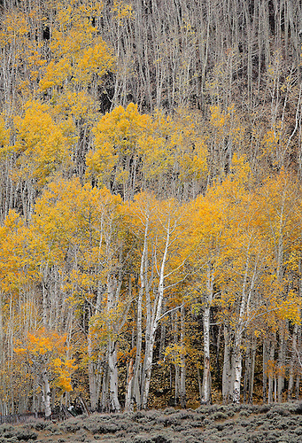 An aspen tree forest in the Colorado Rocky Mountains during autumn.