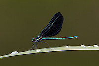 Ebony Jewelwing (Calopteryx maculata) Damselfly - Male, Swift River Reservation, Petersham, Worcester County, Massachusetts