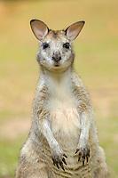 agile wallaby, or sandy wallaby, Macropus agilis, adult, Daintree, Queensland, Australia, Oceania