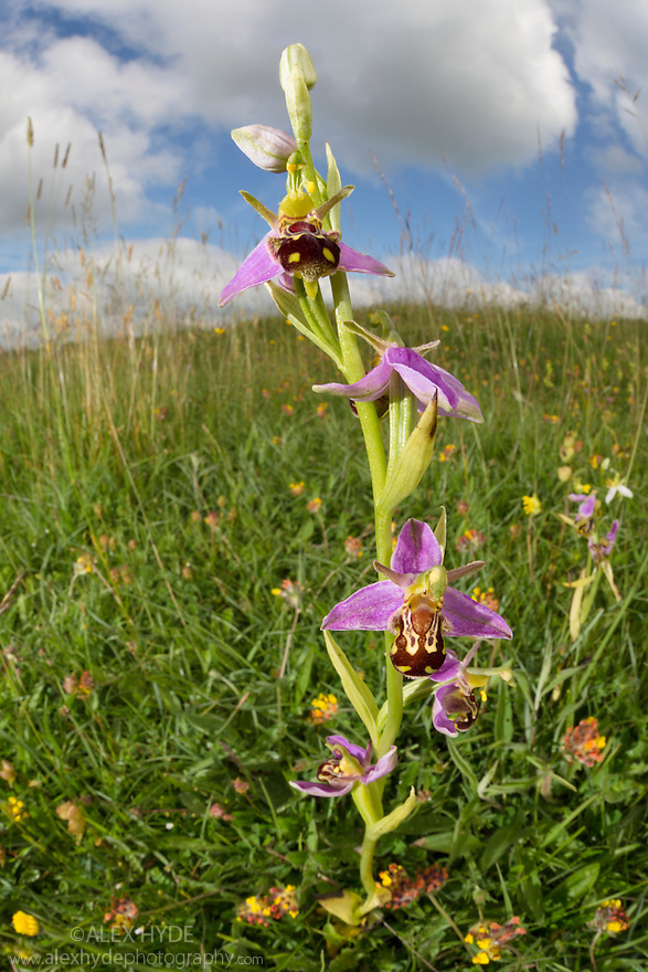 Bee Orchid {Ophyris apifera} photographed with fisheye lens to show lowland calcareous grassland habitat. Peak District National Park, Derbyshire, UK. June.