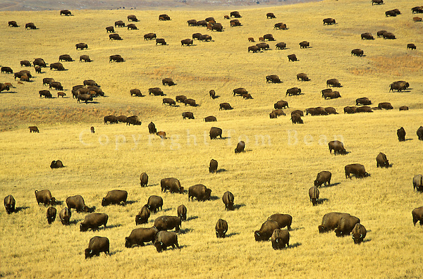 Bison herd covers prairie on Triple 7 Ranch near Fairburn, South Dakota, AGPix_0256.