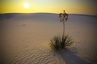 Sunrise Yucca - New Mexico - White Sands NM