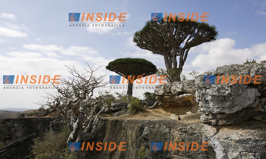 """Socotra, gennaio 2006....Socotra e' l'isola più grande dello Yemen, rimasta per lungo tempo isolata dal continente ha sviluppato una fauna ed una flora  straordinaria con specie endemiche particolarissime. L'arcipelago di Socotra e' stata dichiarata dall'UNESCO Riserva della Biosfera...Nella foto: Un particolare dell'albero detto """"sangue di drago""""  per la sostanza rossa che se ne ricava (Dracaena Linnabari) nel parco del Daerhu Canion...Socotra was declared by UNESCO a Biosphere reserve and it was so long isolated to the continent that has developed a lot kinds of particular animal and vegetable species...In the picture the Dragon blood tree in the Daerhu Canion...Photo Antonietta Baldassarre INSIDE"""