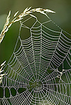 Spider web with early morning dew, backlight, on grass stem,.United Kingdom....