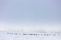 Caribou trekking across the tundra on finger mountain, Alaska