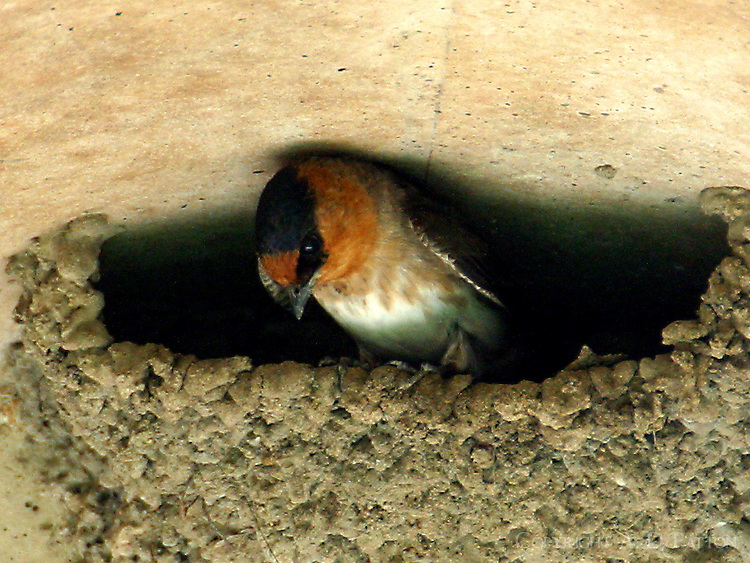 Adult cave swallow at nest