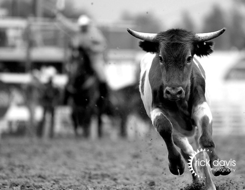 A corriente steer, used in rodeo tie down and team roping events, makes his escape for the release gate after avoiding the lariat of an unlucky cowboy during tie down roping at the annual Cheyenne Frontier Days Rodeo in Cheyenne, Wyoming.