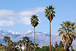 Palm trees and snow on mountains in Palm Springs, California