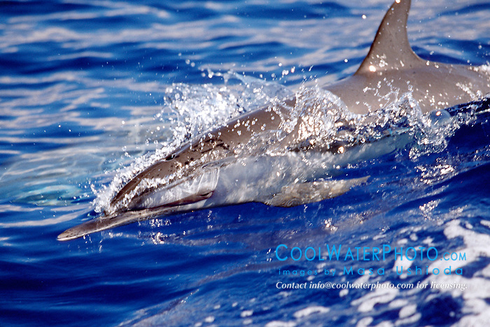 pantropical spotted dolphin calf, .Stenella attenuata, wake-riding, .Big Island, Hawaii (Pacific).