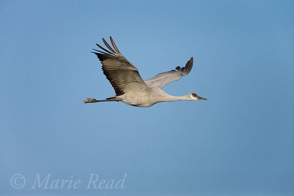 Greater Sandhill Crane (Grus canadensis) in flight, Bosque del Apache National Wildlife Refuge, New Mexico, USA