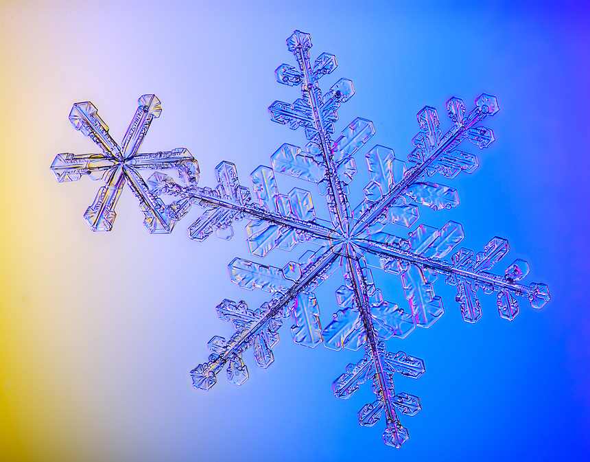 Best Flora: Snowflake Arm in Arm