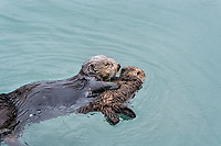 Sea Otter (Enhydra lutris) mom with young pup.  Mom is preparing to pick up pup and place it on her chest/stomach.  Prince William Sound, Alaska.  Spring.