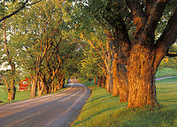 Maple lined gravel road at sunset, Darling Hill Road, Lyndon, Caledonia County, VT
