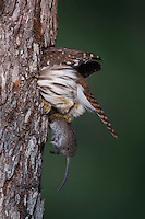 Ferruginous Pygmy-Owl, Glaucidium brasilianum, adult taking mouse prey into nesting cavity, Willacy County, Rio Grande Valley, Texas, USA, May 2007
