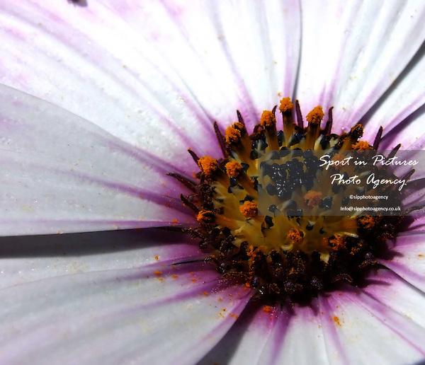 Close up of an Osteospurmum