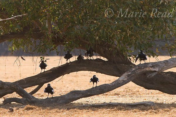 Australian Magpies (Gymnorhina tibicen), group sheltering from heat under shady tree, with wings raised as thermoregulatory behavior, Kangaroo Island, Australia