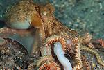 Fireworms eat Octopus