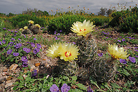 Twisted-rib Cactus (Hamatocactus bicolor) and Purple Ground Cherry (Quincula lobata), blooming,  Laredo, Webb County, South Texas, USA