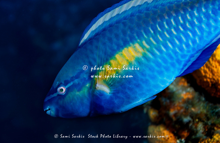 Brightly colored tropical fish swimming, Palancar, Cozumel Island, Mexico.