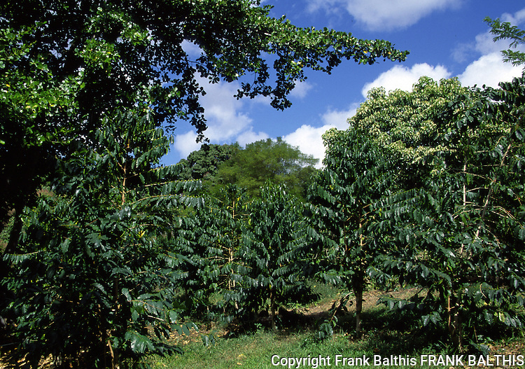 coffee plants at Holualoa near Kona