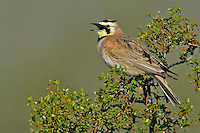 Horned Lark - Eremophila alpestris - male