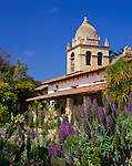 Monterey County,CA<br /> Pride of Madeira (Echium candicans) blooming in the gardens under the tower of the Carmel Mission Basilica (1797)