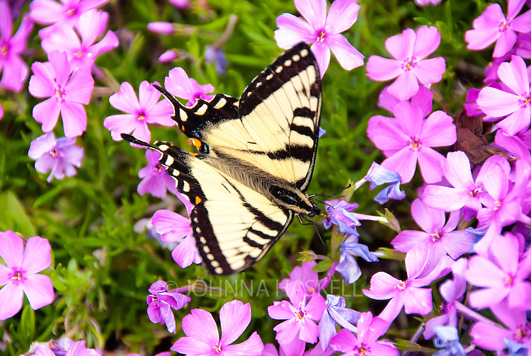 Candian Tiger Swallowtail loves feeding on spring pink phlox.