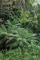 Le Domaine du Rayol:<br /> le jardin de Nouvelle-Z&eacute;lande, le long du ruisseau, foug&egrave;res arborescentes (Dicksonia &amp; Cyathea), Ropalostylis sapida, palmier le plus austral.