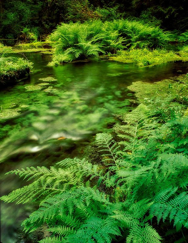 Spring creek with ferns and moss covered rocks. Near McKenzie Bridge, Oregon