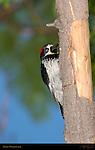 Acorn Woodpecker on Live Oak Southern California