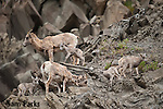 A small group of bighorn sheep ewes and newborn lambs on rocks. Yellowstone National Park, Montana.
