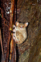 The Spectral Tarsier (Tarsius spectrum) is a member of the Tarsier family and living on the island of Sulawesi, Indonesia, and is also reffered to as 'Sulawesi Tarsier'. It is about 25 centimeters long and weighs 94-154 grams. They sleep in hollow trees, palm trees, or thick vines. Spectral Tarsiers are not very social animals, they encounter each other only once in a while during the night when they feed on insects. During the day they sleep most of the time and socially interact only a short time of the day.