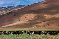 Nomadic Yak herders in the Himalayas, near Pang, Ladakh, Jammu and Kashmir State, India.