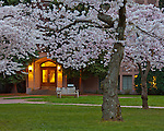 "Seattle, WA     <br /> Blossoming cherry trees in the Liberal Arts Quadrangle, ""The Quad"", University of Washington campus"