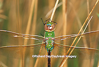 06361-00217 Common Green Darner (Anax junius) female in wetland, Marion Co. IL