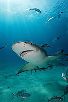 pk11265-D. Lemon Shark (Negaprion brevirostris). Bahamas, Atlantic Ocean..Photo Copyright © Brandon Cole. All rights reserved worldwide.  www.brandoncole.com..This photo is NOT free. It is NOT in the public domain. This photo is a Copyrighted Work, registered with the US Copyright Office. .Rights to reproduction of photograph granted only upon payment in full of agreed upon licensing fee. Any use of this photo prior to such payment is an infringement of copyright and punishable by fines up to  $150,000 USD...Brandon Cole.MARINE PHOTOGRAPHY.http://www.brandoncole.com.email: brandoncole@msn.com.4917 N. Boeing Rd..Spokane Valley, WA  99206  USA.tel: 509-535-3489