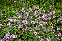 Crown Vetch