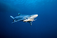 blue shark, Prionace glauca, eating bait, Channel Islands, California, USA, Pacific Ocean