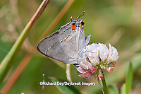 03191-006.07 Gray Hairstreak (Strymon melinus) on white clover (Trifolium repens) Marion Co., IL