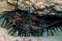 banded spiny lobster, Panulirus marginatus, ula, endemic, Midway Island, Papahanaumokuakea Marine National Monument, Northwestern Hawaiian Islands, Hawaii, USA, Pacific Ocean